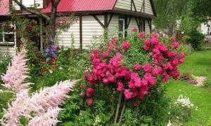 Розы в саду и вокруг дома: фото идеи