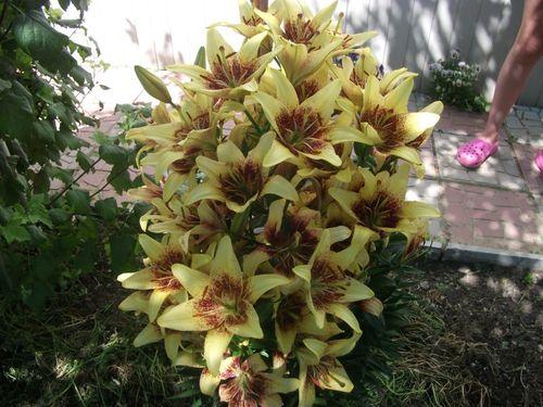 lilii-v-landshafte_3
