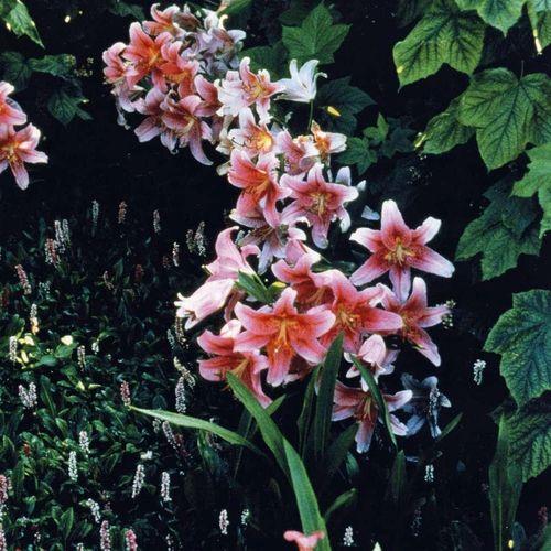 lilii-v-landshafte_4