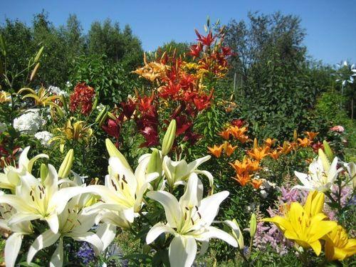 lilii-v-landshafte_6