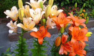 Используем лилии в ландшафтном дизайне сада