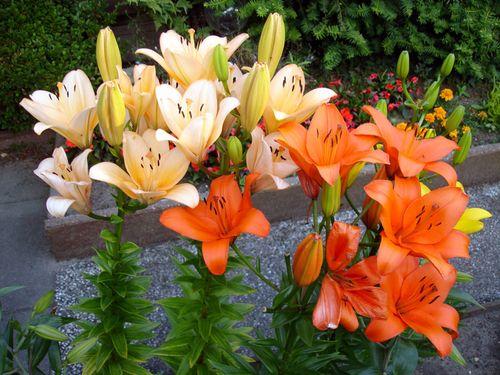 lilii-v-landshafte_7