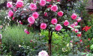 Используем розы в ландшафтном дизайне сада