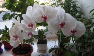 Можно ли держать цветы орхидеи в спальне
